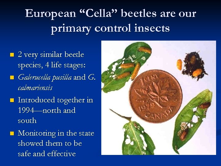 """European """"Cella"""" beetles are our primary control insects n n 2 very similar beetle"""