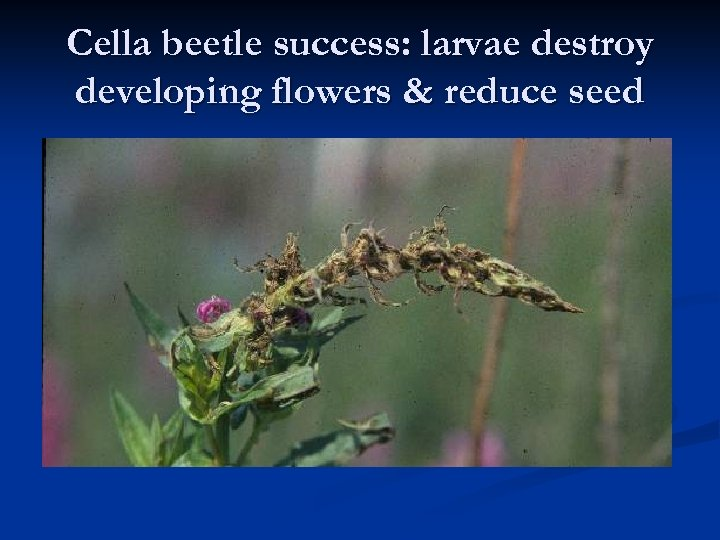 Cella beetle success: larvae destroy developing flowers & reduce seed