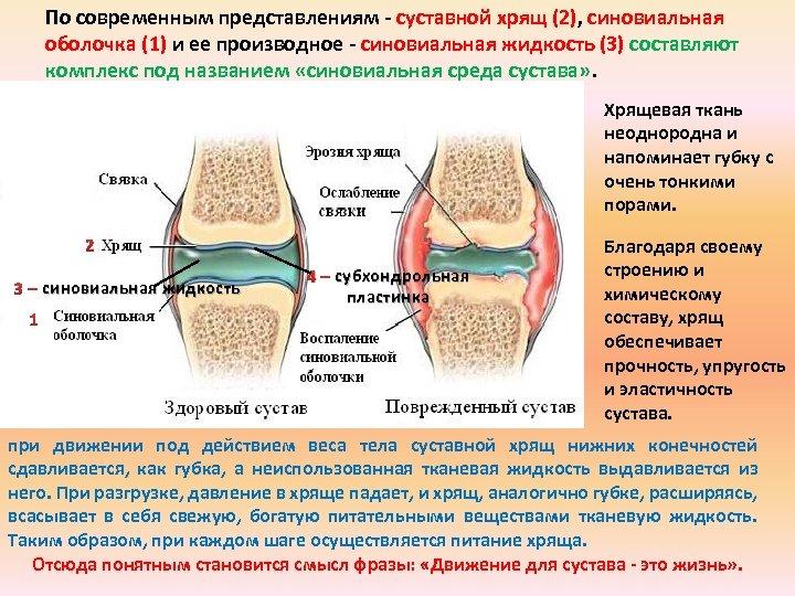 По современным представлениям суставной хрящ (2), синовиальная оболочка (1) и ее производное синовиальная жидкость