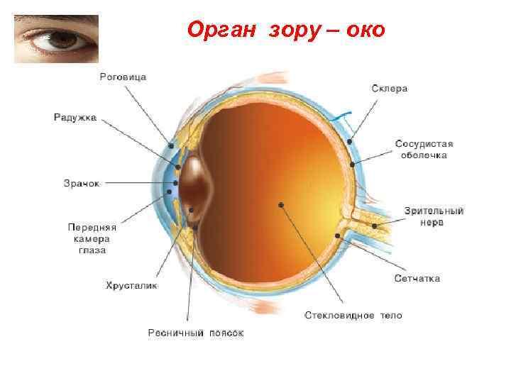 Орган зору – око