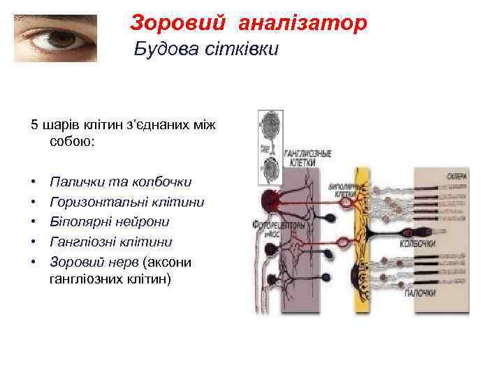 Зоровий аналізатор Будова сітківки 5 шарів клітин з'єднаних між собою: • • • Палички