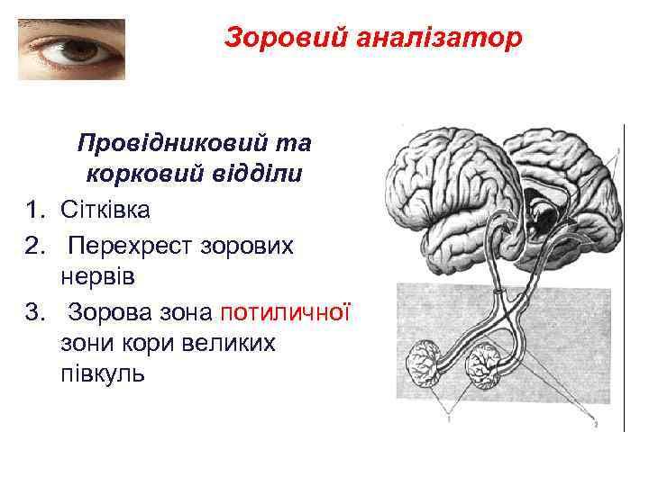 Зоровий аналізатор Провідниковий та корковий відділи 1. Сітківка 2. Перехрест зорових нервів 3. Зорова
