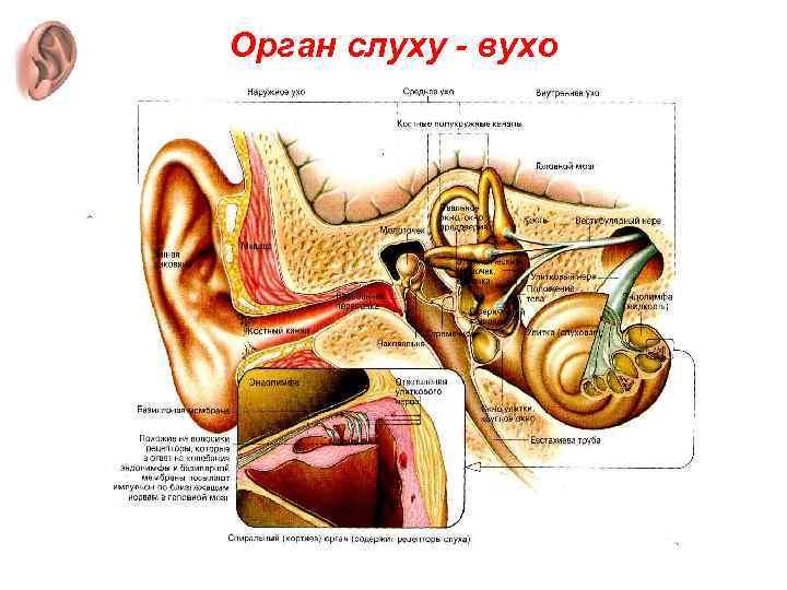 Орган слуху - вухо