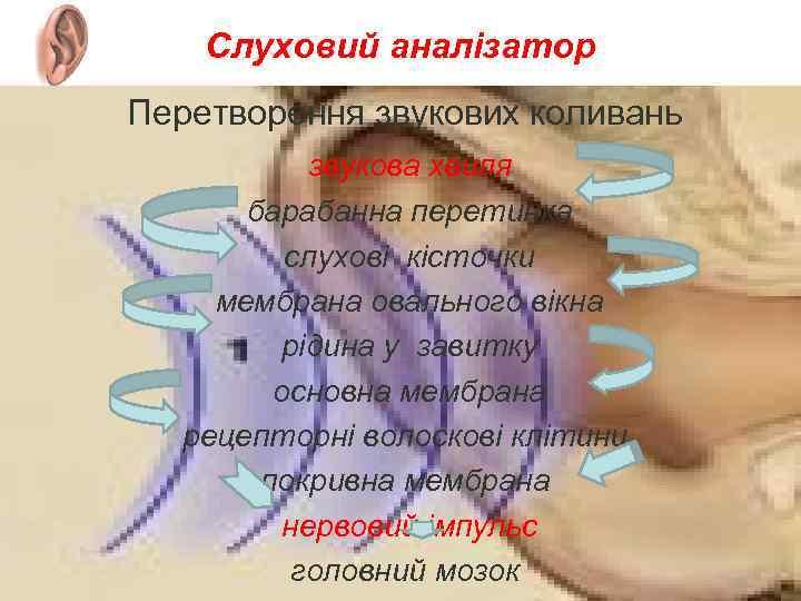 Слуховий аналізатор Перетворення звукових коливань звукова хвиля барабанна перетинка слухові кісточки мембрана овального вікна