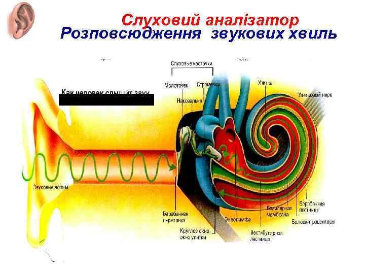 Слуховий аналізатор Розповсюдження звукових хвиль