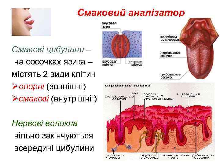 Смаковий аналізатор Смакові цибулини – на сосочках язика – містять 2 види клітин Øопорні