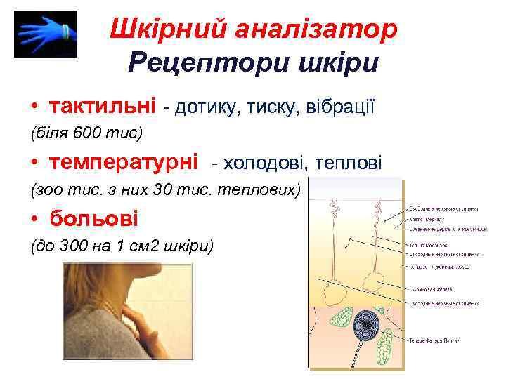 Шкірний аналізатор Рецептори шкіри • тактильні - дотику, тиску, вібрації (біля 600 тис) •