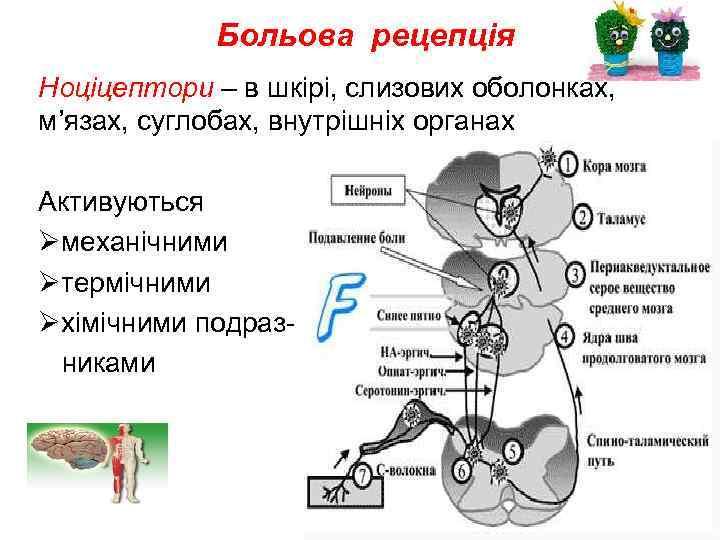 Больова рецепція Ноціцептори – в шкірі, слизових оболонках, м'язах, суглобах, внутрішніх органах Активуються Øмеханічними