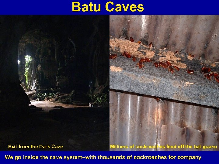 Batu Caves Exit from the Dark Cave Millions of cockroaches feed off the bat