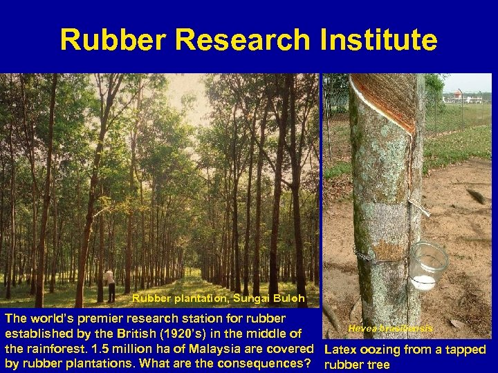 Rubber Research Institute Rubber plantation, Sungai Buloh The world's premier research station for rubber