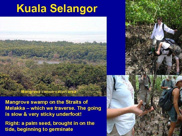 Kuala Selangor Mangrove conservation area Mangrove swamp on the Straits of Melakka – which