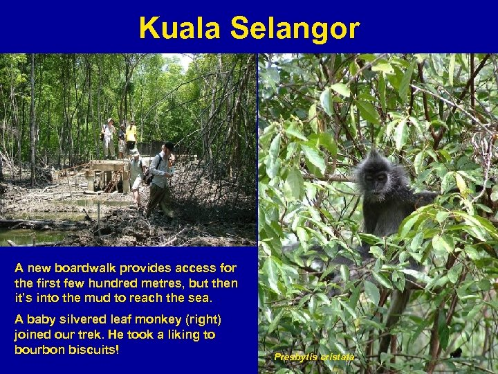 Kuala Selangor A new boardwalk provides access for the first few hundred metres, but