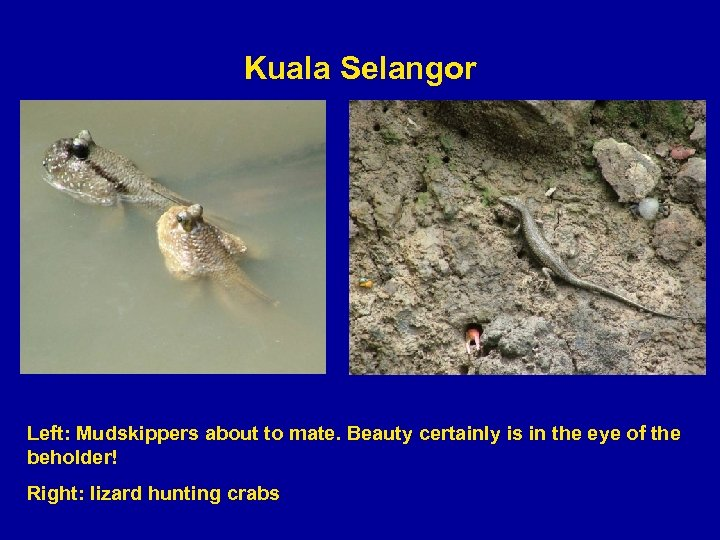 Kuala Selangor Left: Mudskippers about to mate. Beauty certainly is in the eye of