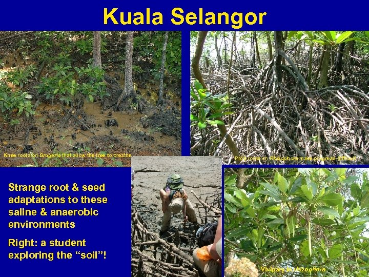 Kuala Selangor Knee roots on Brugeria that allow the tree to breathe Prop roots