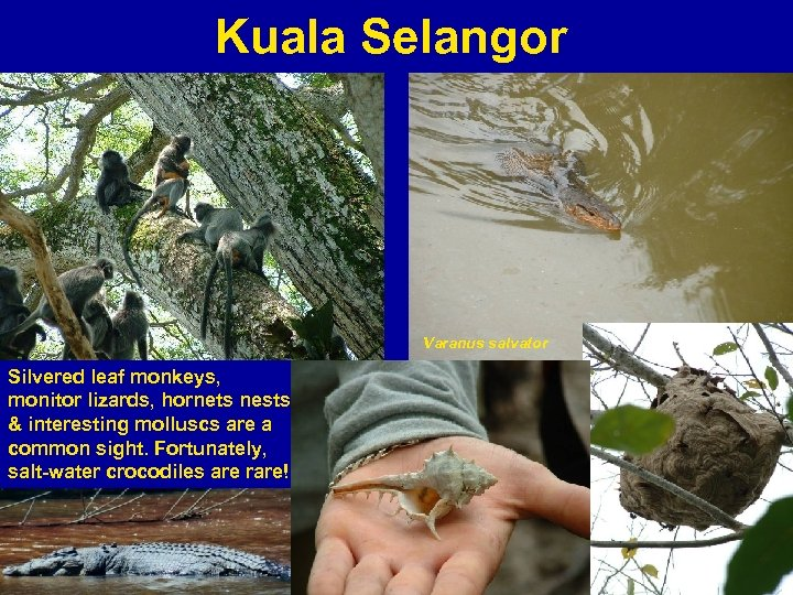 Kuala Selangor Varanus salvator Silvered leaf monkeys, monitor lizards, hornets nests & interesting molluscs