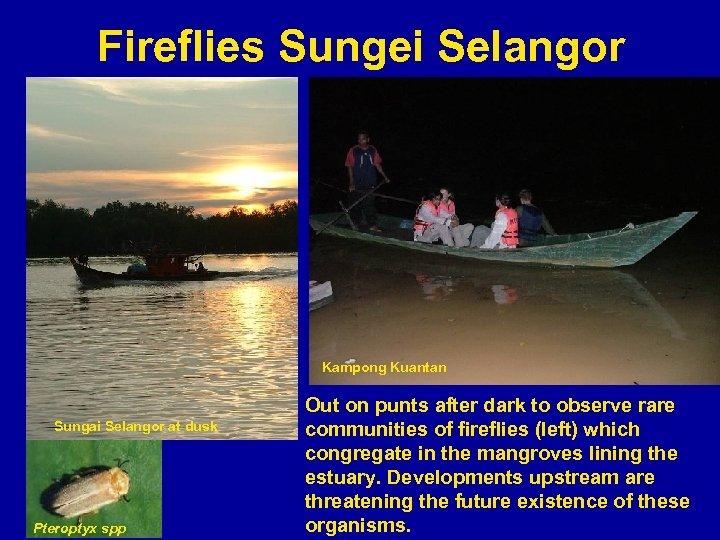 Fireflies Sungei Selangor Kampong Kuantan Sungai Selangor at dusk Pteroptyx spp Out on punts