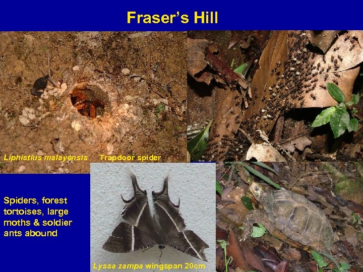 Fraser's Hill Liphistius malayensis Trapdoor spider Spiders, forest tortoises, large moths & soldier ants