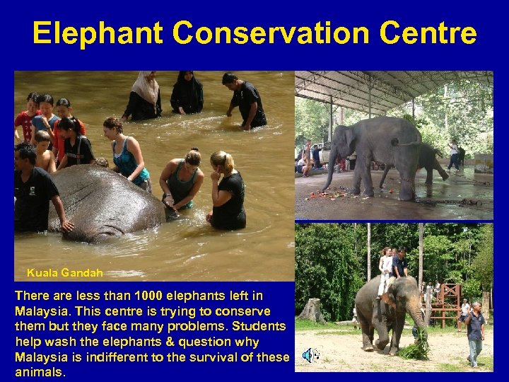 Elephant Conservation Centre Kuala Gandah There are less than 1000 elephants left in Malaysia.