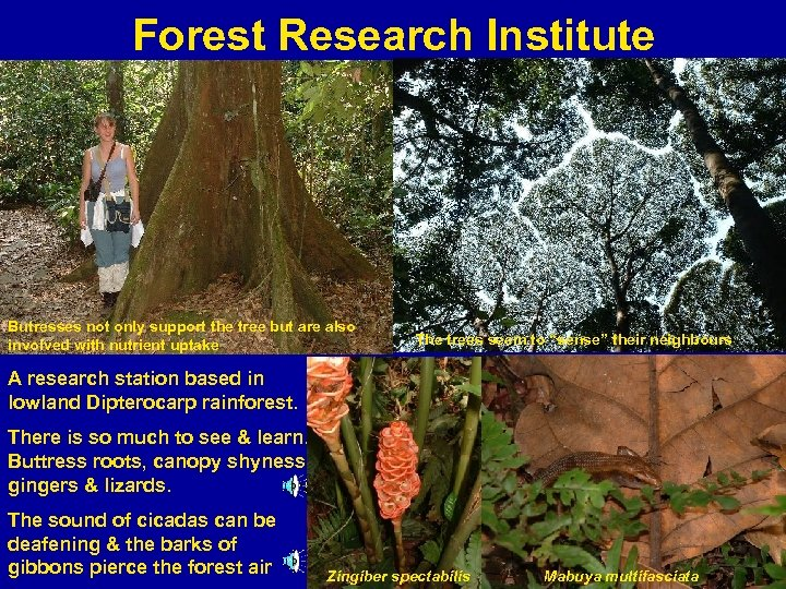 Forest Research Institute Butresses not only support the tree but are also involved with