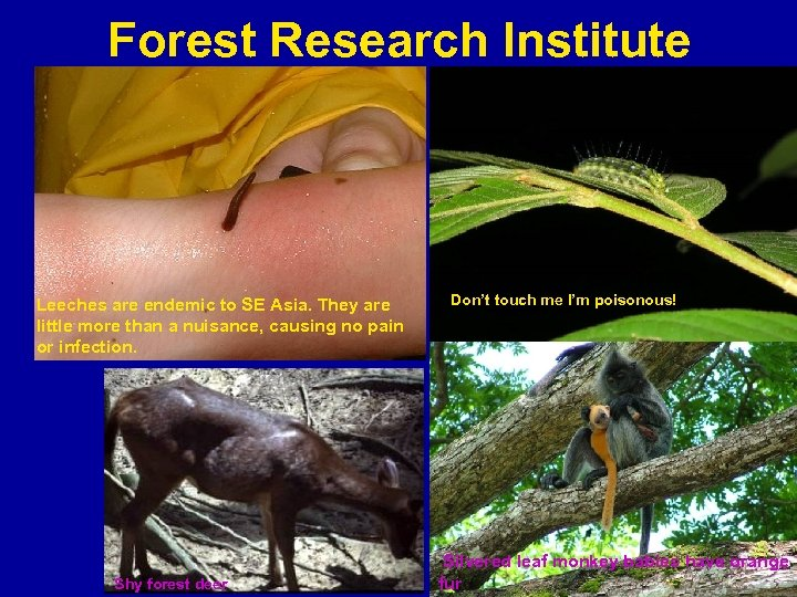 Forest Research Institute Leeches are endemic to SE Asia. They are little more than