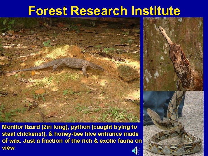 Forest Research Institute Monitor lizard (2 m long), python (caught trying to steal chickens!),