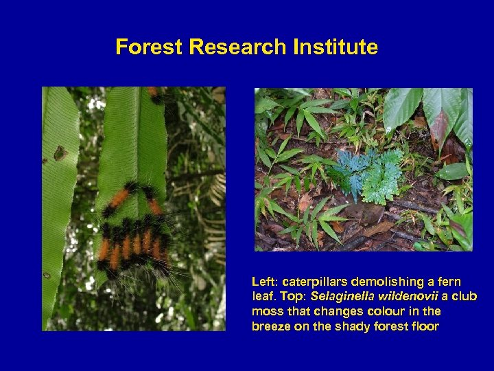 Forest Research Institute Left: caterpillars demolishing a fern leaf. Top: Selaginella wildenovii a club