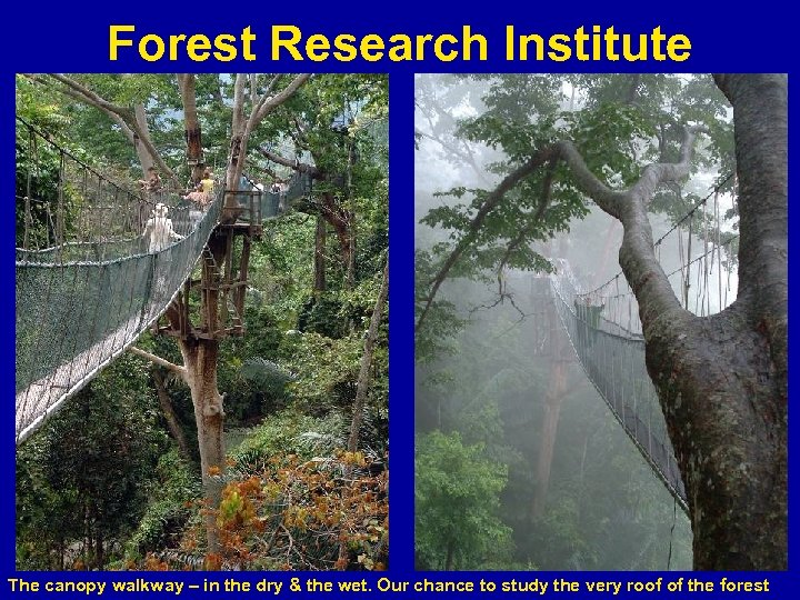 Forest Research Institute The canopy walkway – in the dry & the wet. Our