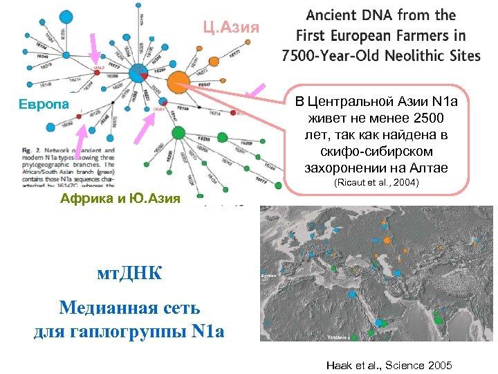Ц. Азия В Центральной Азии N 1 a живет не менее 2500 лет, так