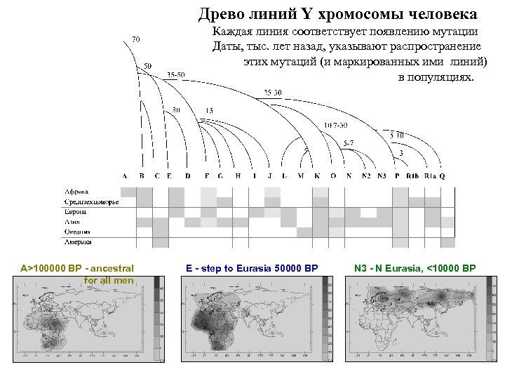 Древо линий Y хромосомы человека Каждая линия соответствует появлению мутации Даты, тыс. лет назад,