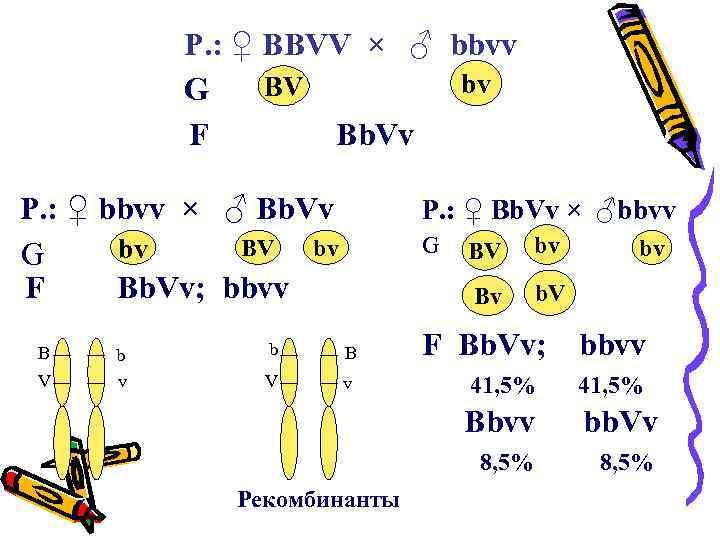 P. : ♀ BBVV × ♂ bbvv bv BV G F Bb. Vv P.