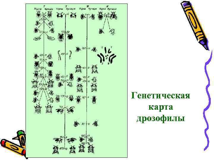 Генетическая карта дрозофилы