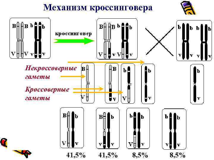 Механизм кроссинговера Некроссоверные гаметы Кроссоверные гаметы 41, 5% 8, 5%