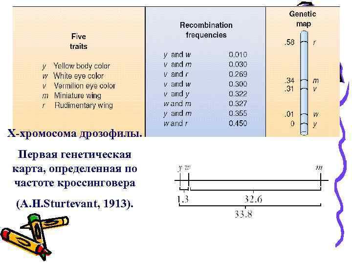 Х-хромосома дрозофилы. Первая генетическая карта, определенная по частоте кроссинговера (A. H. Sturtevant, 1913).