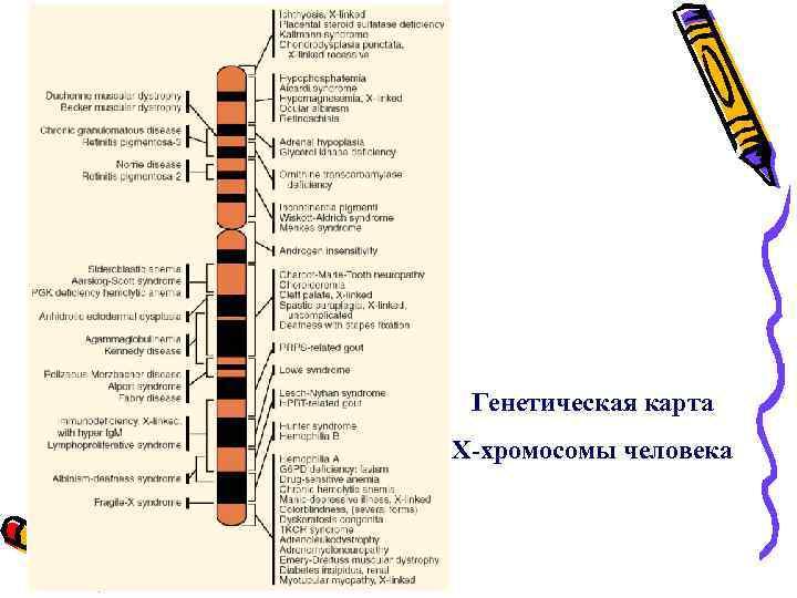 Генетическая карта Х-хромосомы человека