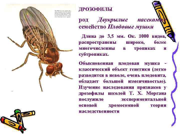ДРОЗОФИЛЫ род Двукрылые насекомые семейство Плодовые мушки Длина до 3, 5 мм. Ок. 1000