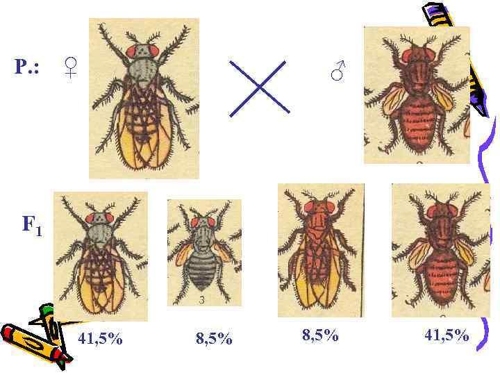 P. : ♀ ♂ F 1 41, 5% 8, 5% 41, 5%