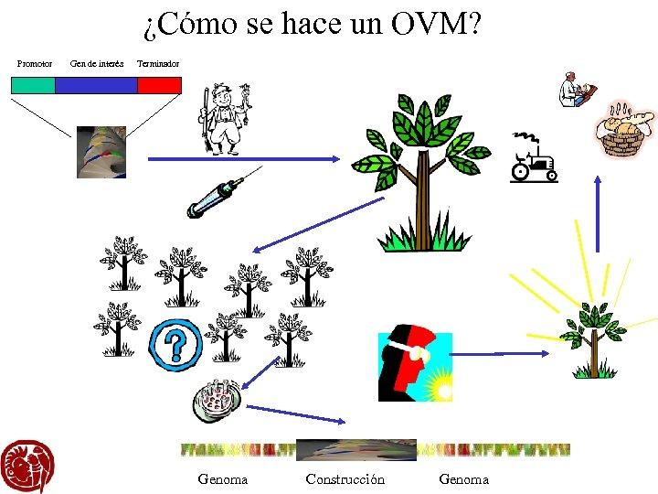 ¿Cómo se hace un OVM? Promotor Gen de interés Terminador Genoma Construcción Genoma