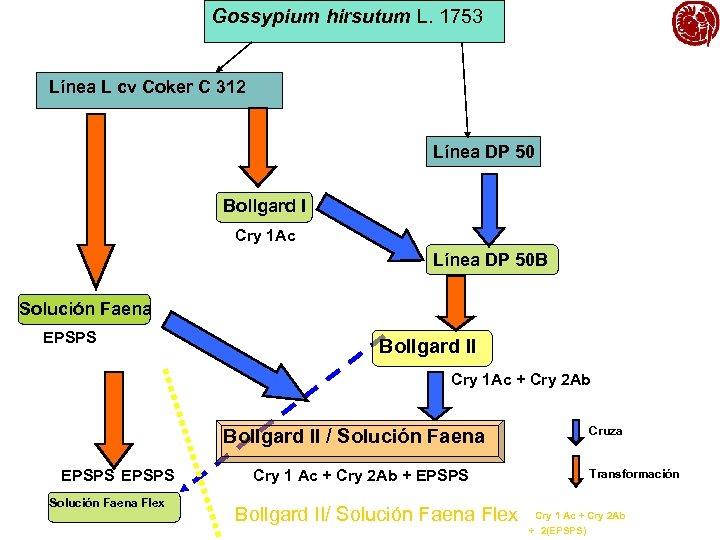 Gossypium hirsutum L. 1753 Línea L cv Coker C 312 Línea DP 50 Bollgard
