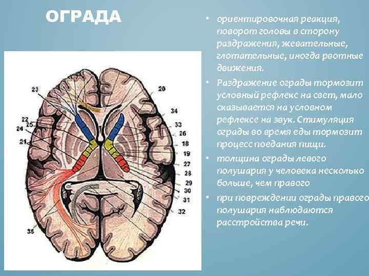 ОГРАДА • ориентировочная реакция, поворот головы в сторону раздражения, жевательные, глотательные, иногда рвотные движения.