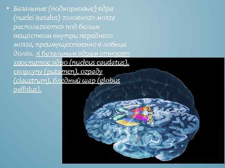 • Базальные (подкорковые) ядра (nuclei basales) головного мозга располагаются под белым веществом внутри