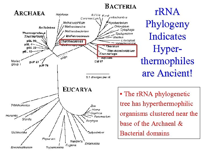 r. RNA Phylogeny Indicates Hyperthermophiles are Ancient! • The r. RNA phylogenetic tree has