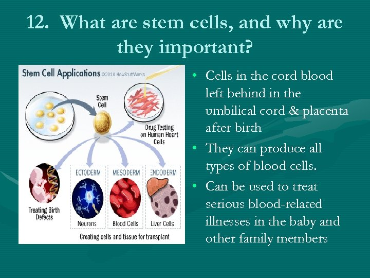 12. What are stem cells, and why are they important? • Cells in the