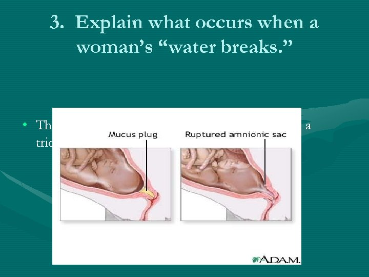 "3. Explain what occurs when a woman's ""water breaks. "" • The amniotic sac"