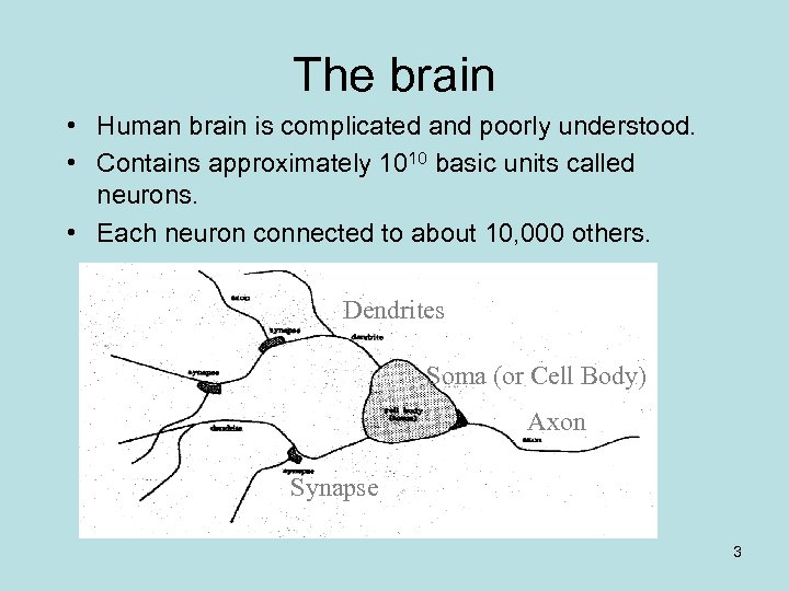The brain • Human brain is complicated and poorly understood. • Contains approximately 1010