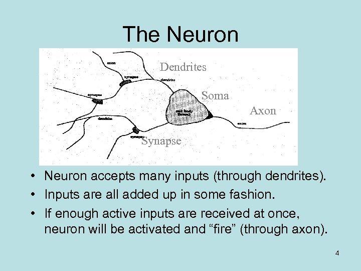 The Neuron Dendrites Soma Axon Synapse • Neuron accepts many inputs (through dendrites). •