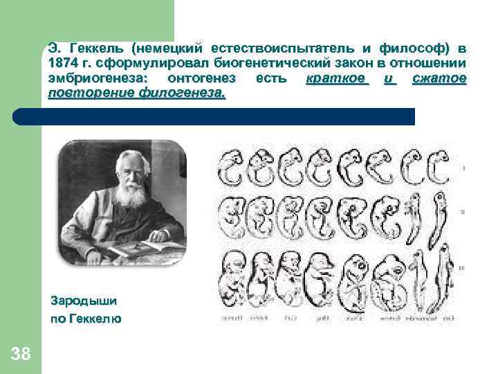 Э. Геккель (немецкий естествоиспытатель и философ) в 1874 г. сформулировал биогенетический закон в отношении