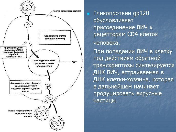 n Гликопротеин gр120 обусловливает присоединение ВИЧ к рецепторам СD 4 клеток человека. При попадании