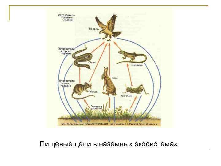Пищевые цепи в наземных экосистемах.
