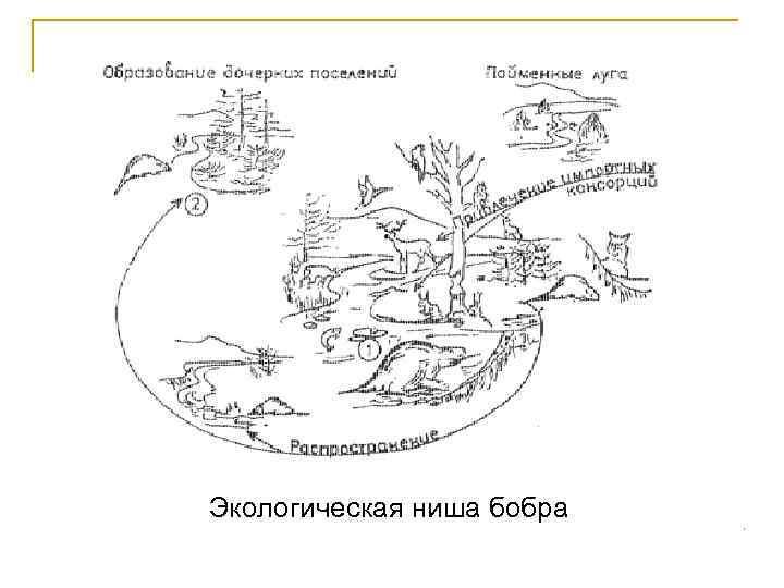 Экологическая ниша бобра