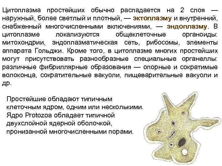 Часть Цитоплазмы Представленная Опорно-сократимыми Структурами